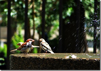 09-06-21a Hamed Saber, Douching Sparrows